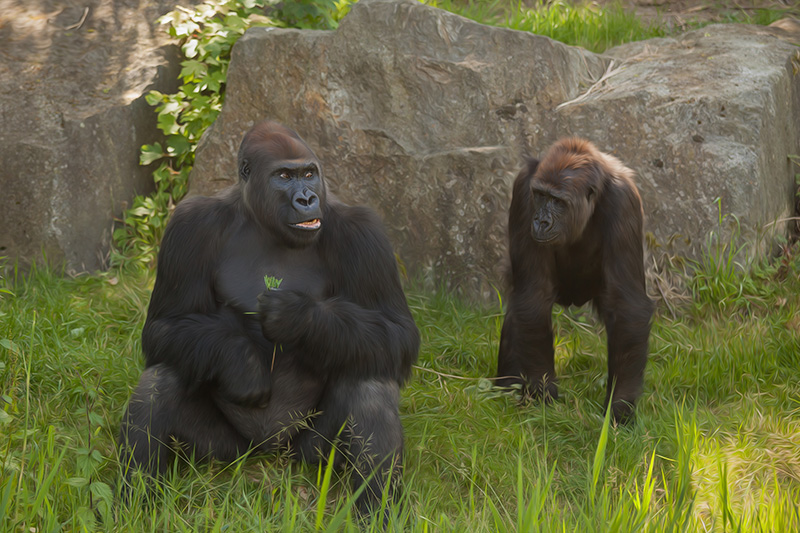 Full-length view of two captive gorillas (Gorilla sp.) in a zoo, Germany. Credit: Carol Yepes/Getty Images