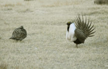 The President vs the Sage-Grouse